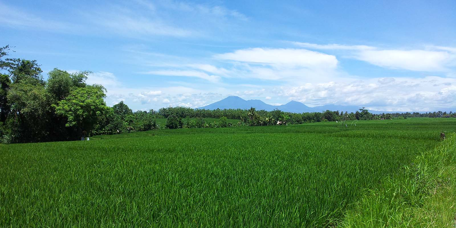 Seseh rice fields